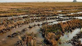 Foto de Nuevo modelo para predecir los efectos de la subida del nivel del mar en la producción de arroz