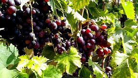Foto de Resveratrol, un residuo de la uva que acelerar�a la eliminaci�n del colesterol
