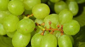 Foto de Los compuestos fenólicos de la uva ayudan a controlar el peso en casos de obesidad