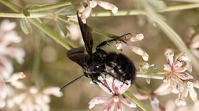 Foto de Identificadas 11 especies de polinizadores endémicos ibéricos en márgenes de cultivo