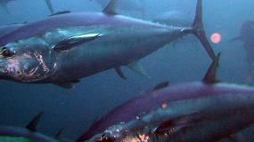 Foto de España presenta los Planes de Capacidad, Pesca e Inspección de atún rojo