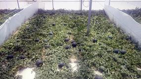 Foto de Politec Ultra contribuye a aumentar el rendimiento comercial del cultivo de sandía hasta un 24%