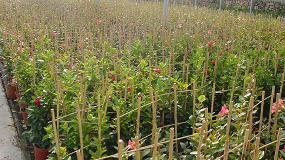 Foto de La caña de bambú representa el 77% de ventas en opciones para entutorar cultivos de Grupo Projar