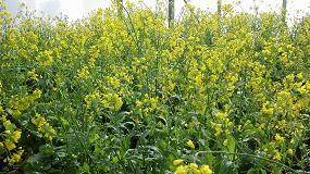 Foto de Importancia del cultivo del grelo