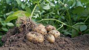 Picture of Bejo lanza su primera variedad de semilla verdadera de patata