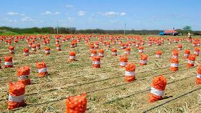 Foto de La práctica de riego por goteo en el cultivo de cebolla