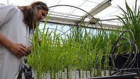 Foto de El proyecto Neurice realiza ensayos con nuevas variedades de arroz tolerantes a la salinidiad