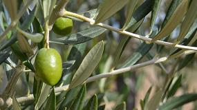 Foto de Nuevo consorcio de investigación para obtener nutracéuticos a partir de extractos de aceituna