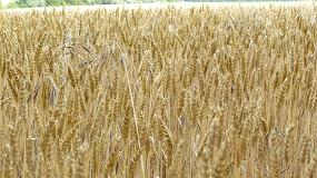 Foto de Asaja prevé una caída en la cosecha de cereales de invierno, la segunda más baja de los últimos 25 años