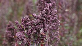 Foto de La quinoa, otro cultivo en auge en Andalucía