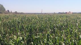 Foto de Efecto del inhibidor de la ureasa de Nexur en la fertilización y producción del maíz