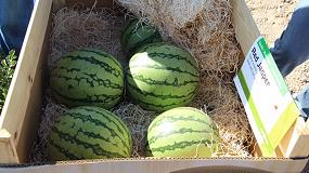 Picture of Syngenta muestra el potencial de sus variedades de sandía y melón