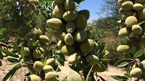 Fotografia de Todolivo ensaya la adaptación del cultivo del almendro al sistema en seto