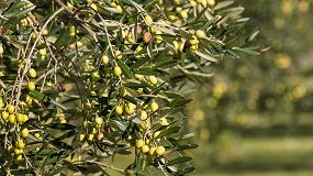Foto de AEMO elabora la previsión de cosecha de aceite de oliva en España para la campaña 2017-2018