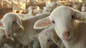 Foto de Producción animal y genética molecular al servicio de una producción de corderos limpia, verde y ética