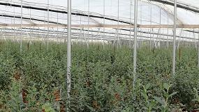 Foto de Control y homogeneidad de la producción, principales ventajas de la hidroponía en berries