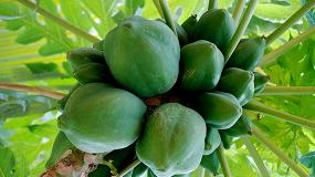 Foto de El cultivo de la papaya en el Sureste de España