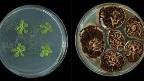 Foto de Investigarán el uso de fitopatógenos para mejorar el rendimiento en cultivos de arroz y tomate