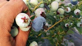 Foto de El cultivo hidropónico de arándano aumenta la producción en los primeros años