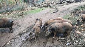 Fotografia de Huelva apoya la cría y mejora del Manchado de Jabugo