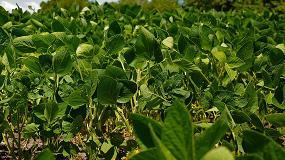 Fotografia de Aclarar las hojas de la soja incrementa su rendimiento