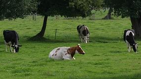 Fotografia de Galicia se consolida como una de las principales comunidades españolas en producción de carne de bovino