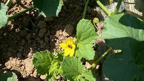 Foto de Una investigación de la UCAV desarrolla un bioestimulante para el cultivo del melón