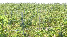 Foto de Galicia destina 1,4 millones a reestructuración y reconversión del viñedo