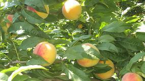 Foto de Europa prevé cosechar un 8% menos de melocotón y nectarina