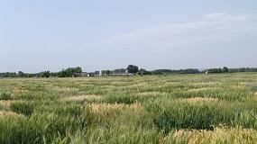 Foto de Identifican marcadores de interés agronómico en trigo duro a partir de variedades locales mediterráneas