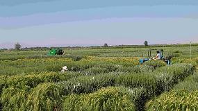 Foto de Nace DURACAT para promover la producción de proximidad de trigo duro de alta calidad en Cataluña