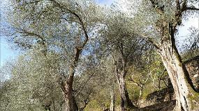 Foto de Brava, el último reducto gallego en el mundo del olivo