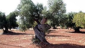 Foto de Nuevos controles fitosanitarios en el olivar italiano