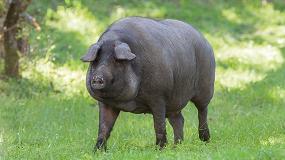 Foto de Estudio comparado del metabolismo de aminoácidos y de lípidos en el cerdo ibérico y en una raza porcina convencional