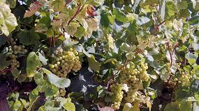 Foto de Variedades minoritarias de uva contra el cambio climático