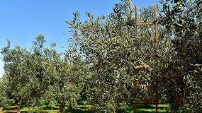 Foto de El cambio climático afecta a la reducción de cosecha de aceituna
