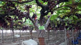 Foto de Papel del jasmonato metilo (JaME) en el proceso de maduración de la uva de mesa