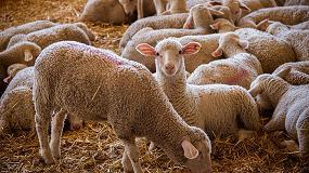 Foto de Covap apuesta por el bienestar animal de sus corderos