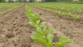 Foto de Azucarera prevé aumentar este año un 20% la superficie de cultivo de remolacha en la zona norte