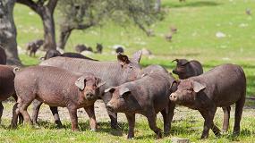 Foto de El sector del cerdo ibérico pide habilitar el almacenamiento privado ante la caída del consumo