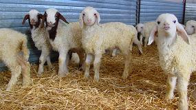 Foto de Denuncian la entrada de unos 800 corderos franceses para ser sacrificados en Castilla y León