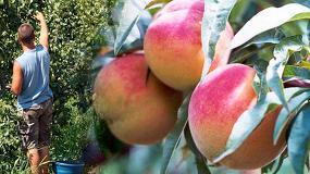 Foto de COAG denuncia que la campaña de fruta de hueso arranca sin precios ni contratos en el campo