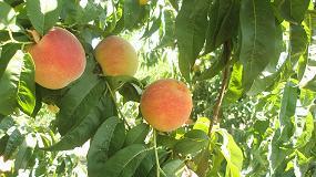 Foto de Decensos en la cosecha prevista de fruta de hueso en Europa