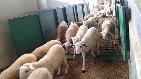 Foto de El ovino de carne hace los deberes