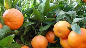 Foto de La campaña de citrícos eleva un 20% los ingresos de los productores pese al descenso en la cosecha