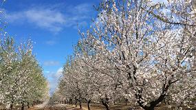 Foto de La almendricultura es una alternativa real al olivar