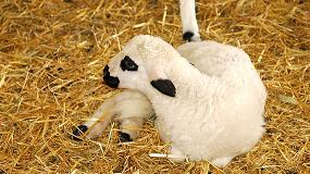 Foto de Distribuidos 10 millones de euros para ayudas a la comercialización de corderos y cabritos