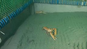 Foto de El CSIC estudia el comportamiento de la cigala