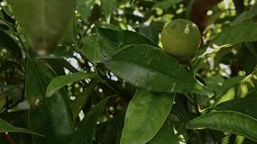 Foto de Edypro desarrolla una nueva solución biotecnológica que aumenta calibre, peso y uniformidad de los frutos