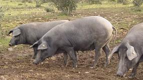 Foto de Los productores de Ibérico recibirán 40 euros por animal sacrificado para mercados alternativos